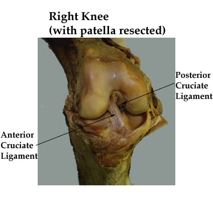 Ligaments of the knee medial view of the knee ccuart Choice Image